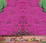 1 LB x (DWARF) CREEPING THYME Herb Seeds - Thymus Serpyllum - Excellent Ground cover - Butterflies love it - By MySeeds.Co (DWARF Creeping Thyme - 1LB)