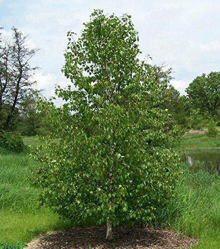 (2 Japanese White Birch Trees 9-15 INCH Bonsai PEALING BARK Live Plants)