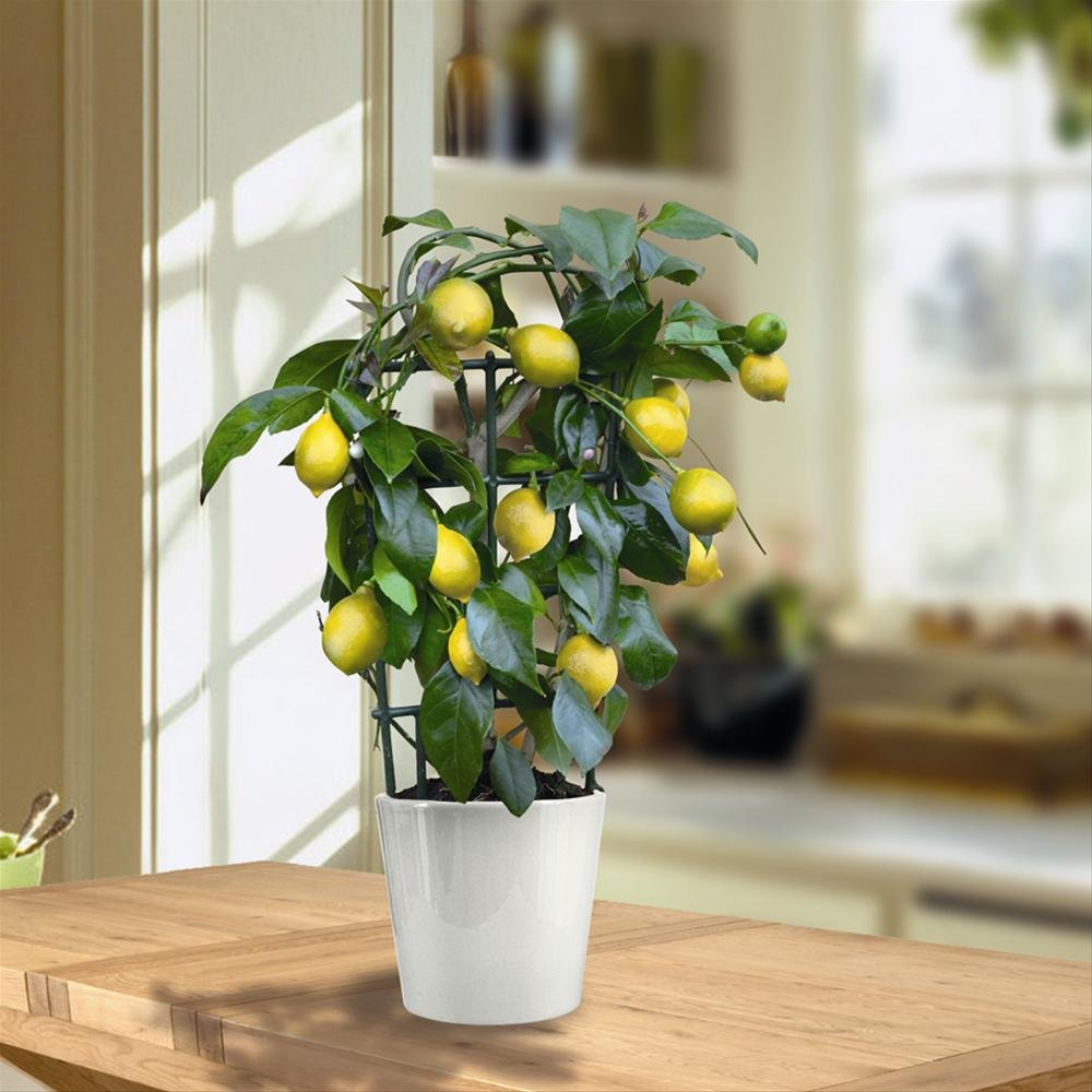 Mini Lemon Tree 40cm with fruit - 1 tree