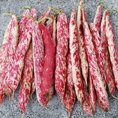 Dwarf Taylor Horticultural Beans(Heirloom Cranberry Beans) by Stonysoil Seed Company