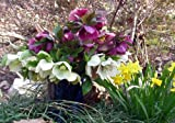 Lenten Rose Mixed Colors (Helleborus Orientalis)
