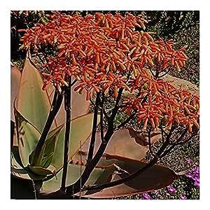 Aloe striata - Coral Aloe - 20 seeds