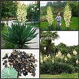 Go Garden 50pcs Fresh Real Yucca Gloriosa semillas Bonsai Flower semillas