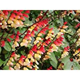 10 FIRECRACKER VINE Flower Mina Lobata Exotic Love Spanish Flag Ipomoea Seeds