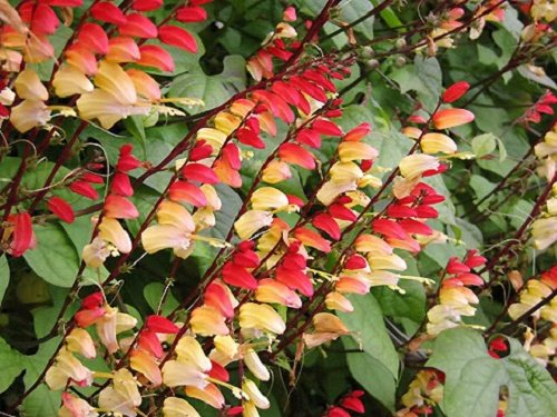 10 FIRECRACKER VINE Flower Mina Lobata Exotic Love Spanish Flag Ipomoea Seeds