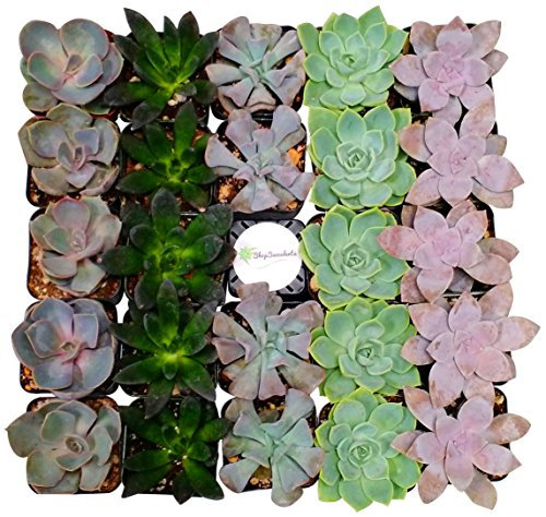 128 Plants (Shop Succulents Rosette Succulent (Collection of 128))