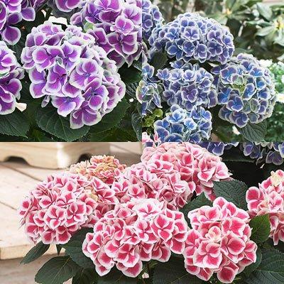 Hydrangea, Bright Bi-color Mix Seeds - Treasuresbylee - 50 : Garden & Outdoor