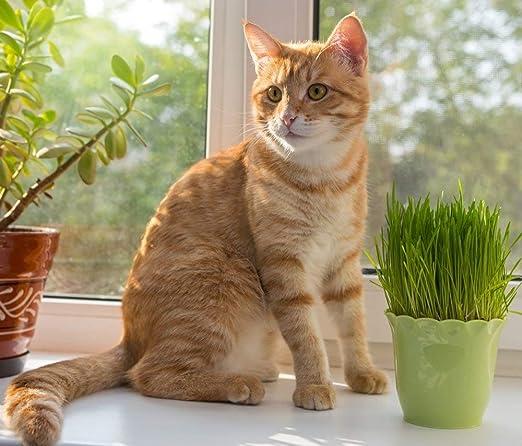 Semillas de hierba gato: Amazon.es: Jardín