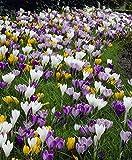 50 bulbs CROCUS VERNUS MIX ~THE GIANTS~ FLOWER BULBS PRICE BREAK ON QUANTITY-->