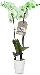 Hallmark Flowers Green Orchid in 5-Inch White Ceramic Container