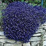 "50+ Perennial Flowering Groundcover Seeds - Rock Cress - ""Cascading Blue"""