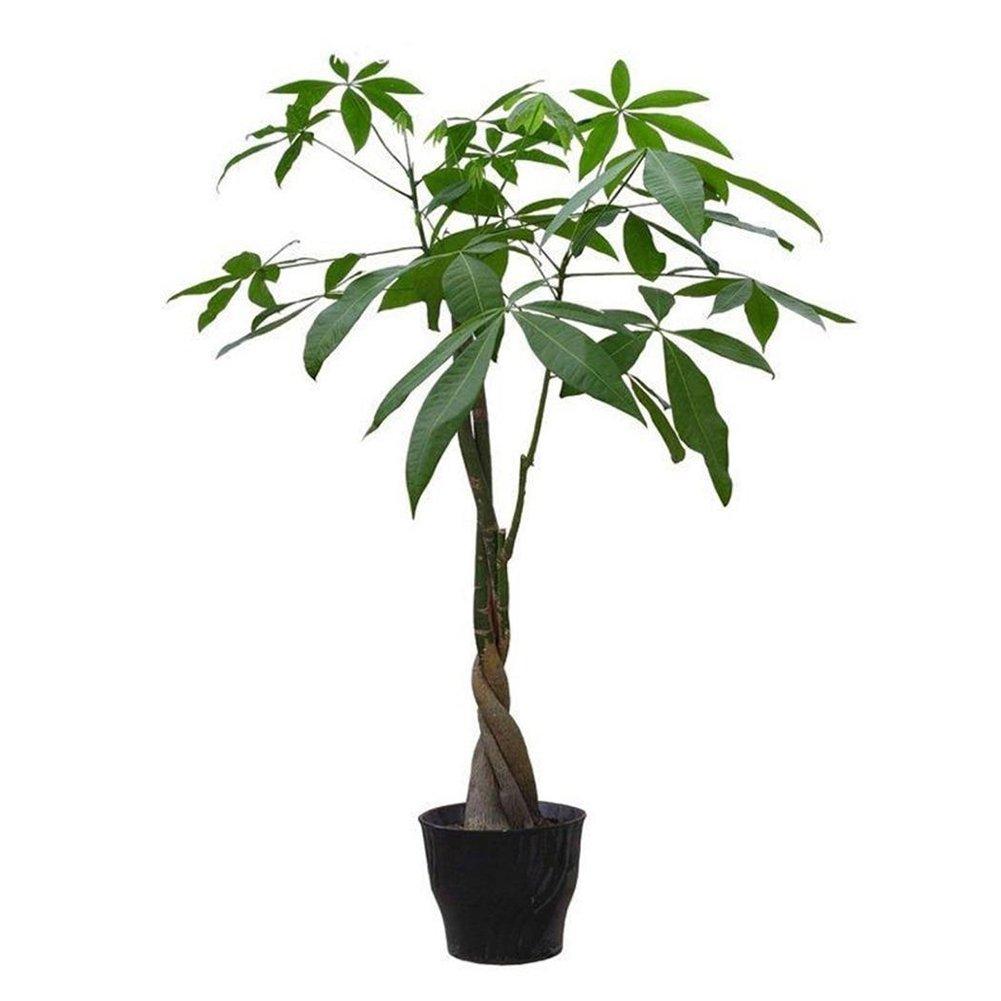 RETS SEEDS Bonsai Pot Indoors Seeds 5 Pieces Mini Pachira Macrocarpa Seeds Make Money Tree