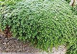 "Elfin Thyme Plant - Thymus minus - World's Smallest Thyme - Live Plant - 3"" Pot"