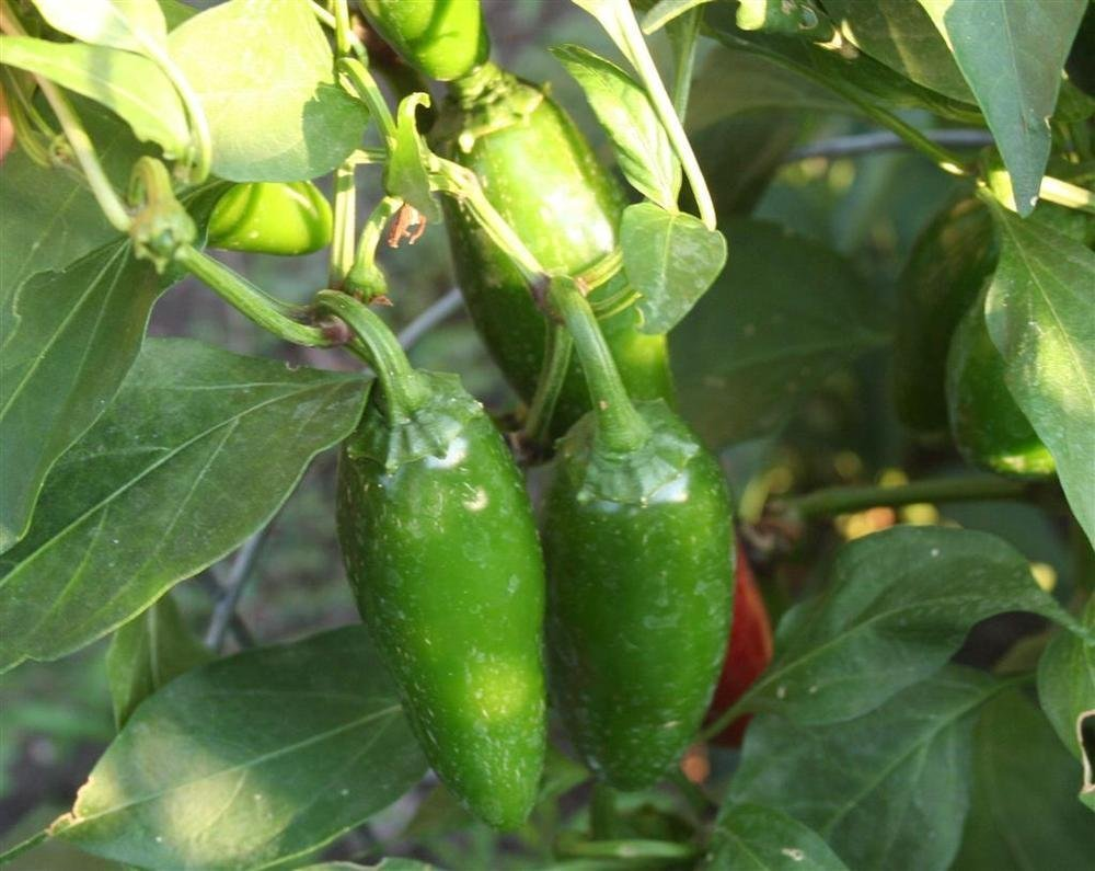 "Mucho Nacho Jalapeno Pepper 4 Plants - 2"" Pots"