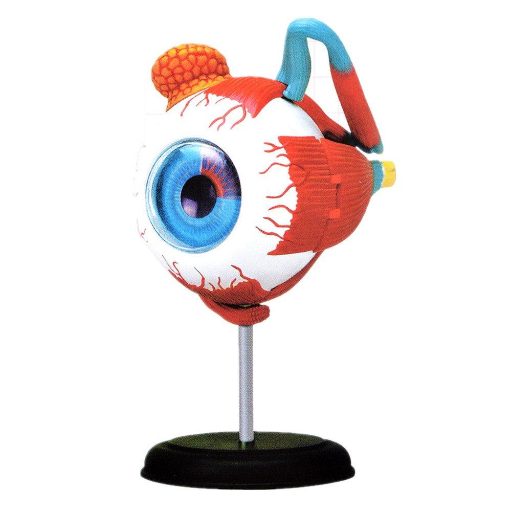 4D Menschlicher Köpfer Modell Augen Augapfel Muster Nachbildung Typ ...