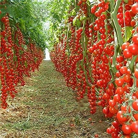 Natural garden plants Tomato SSK 46 Hybrid F1 Vegetable Seeds 100 Seeds Packet