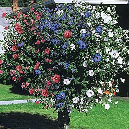 Amazoncom 3 In One Rose Of Sharon 2 3 Ft Hibiscus Garden Yard