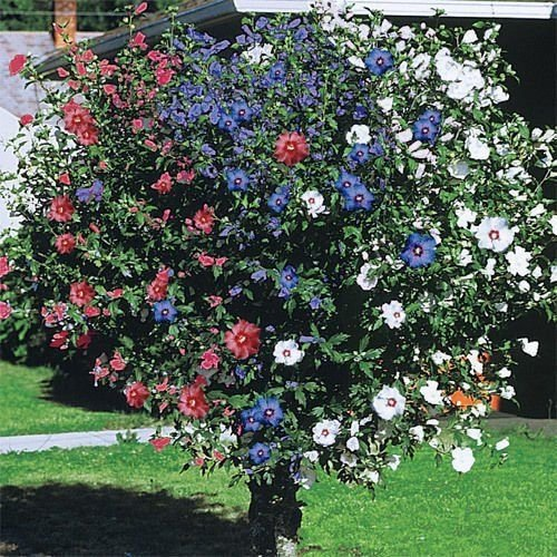 3 IN ONE ROSE OF SHARON 2-3 FT HIBISCUS GARDEN YARD DWARF TREE LIVE PLANT by SS0054