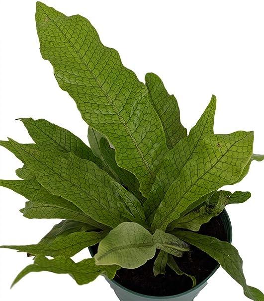 Amazon.com: Raro cocodrilo helecho – Microsorium musifolium ...