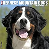 Just Bernese Mountain Dogs 2017 Wall Calendar (Dog Breed Calendars)