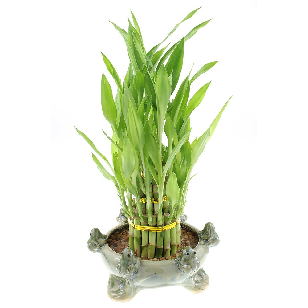 Three Tiered Lucky Bamboo Tower in Decorate Frog Pot (6 Frog Pot)