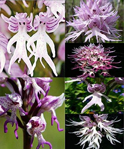by DUBU 7 Types New 100 Pcs Italian Men Orchid, Pyramid Monkey Orchid, Orchid Testes (Men Orchid - Types Male Face