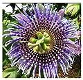 Passion Flower Seeds - Passiflora Ligularis, Sweet Grenadilla - Flowering and Fruiting Vine Seeds - Evergreen Climber. 10 Seeds.