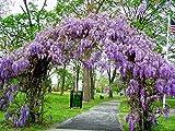 Wisteria Frutescens 'Amethyst Falls' Vine Live Plant Bareroot