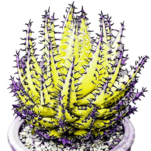- SuBoZhuLiuJ 100 Pcs Colorful Aloe Vera Seeds Mixed Succulent Herbal Bonsai for Planting House Indoors Balcony Garden Office Plants Decor