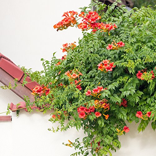 Trumpet Vine, Trumpet Creeper seeds - Campsis radicans Trumpet Creeper Plant