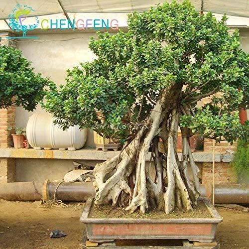 Shopmeeko 100pcs A Bag Banyan Tree Bonsai Ficus Ginseng Bonsai Chinese Rare Ficus Microcarpa Tree Green Bonsai DIY Home Garden: Light Green -