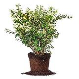 Bridal Wreath SPIREA - Size: 3 Gallon, Live Plant, Includes Special Blend Fertilizer & Planting Guide