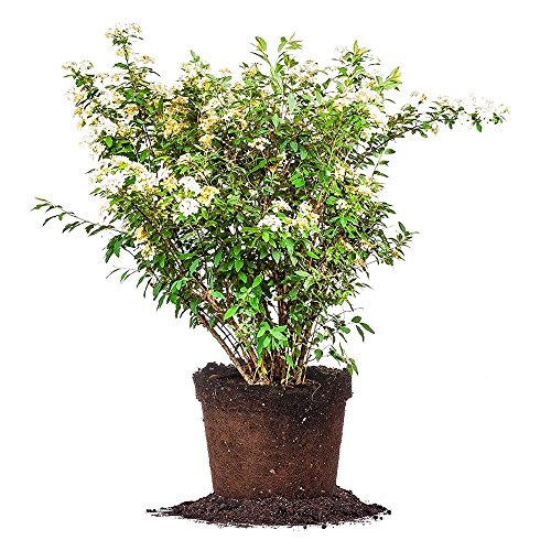 Wreath Seed Sun - Bridal Wreath SPIREA - Size: 3 Gallon, Live Plant, Includes Special Blend Fertilizer & Planting Guide