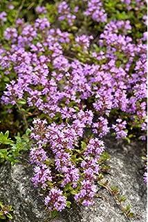 Thymus pulegioides Arznei-Thymian 6 Pflanzen im 5//6 cm Topf