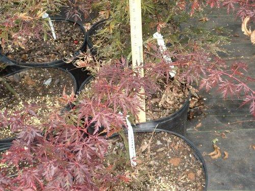Tamukeyama Red Lace Leaf Japanese Maple - 1 Year (Lace Leaf Japanese Maple)