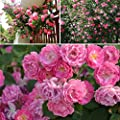 GMNP0di% Climbing Rose Seeds for Planting Garden Home Balcony Fences Decor Plants Flowers