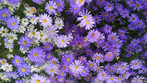 annual-brachyscome-iberidifolia-swan-river-daisy-rich-in-color-300-seeds