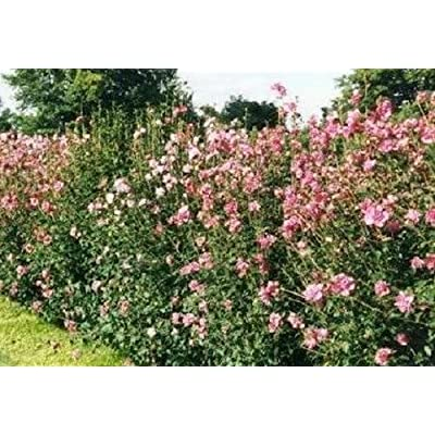50 MIXED COLORS ROSE OF SHARON HIBISCUS Syriacus Flower Tree Bush Shrub Seeds MixComb S/H: Toys & Games