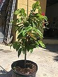 PlantVine Annona squamosa, Sugar Apple - Large, Tree - 8-10 Inch Pot (3 Gallon), Live Plant