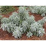 150 seeds of White Sage (Salvia Apiana) Sacred Sage, Ceremonial Sage