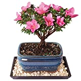 Brussel's Azalea 'Kazan' Bonsai - Small (Outdoor) with Humidity Tray & Deco Rock