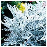 Dusty Miller Maritima Silverdust Cineraria Live Starter Plant White Leaves