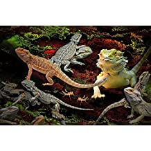 Home Comforts LAMINATED POSTER Pogona Bearded Dragons Animals Lizards Agamas Poster