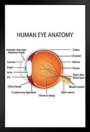 Amazon Human Eye Anatomy Classroom Diagram Educational Chart