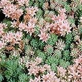 2000 Outsidepride Sedum Hispanicum Ground Cover Seed