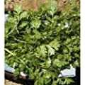 Herb Seeds - Coriander Cilantro - 250 Seeds