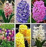 Hyacinth seeds Hyacinthus Orientalis 50 seeds Hyacinthus seeds MIX #32553170194ST
