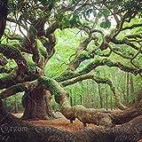 Amazon.com: Pinus Piña italiana piedra pino árbol semillas ...