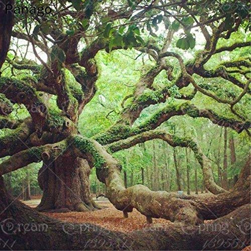 10pcs Oak gaint Tree Seeds American Country Tree Vitality Long, Very Ancient Species Outdoor Plant for Garden Rare