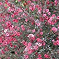 Manuka Tree Seeds (Leptospermum scoparium) 10+ Rare Medicinal Herb Seeds in FROZEN SEED CAPSULES for the Gardener & Rare Seeds Collector - Plant Seeds Now or Save Seeds for Years